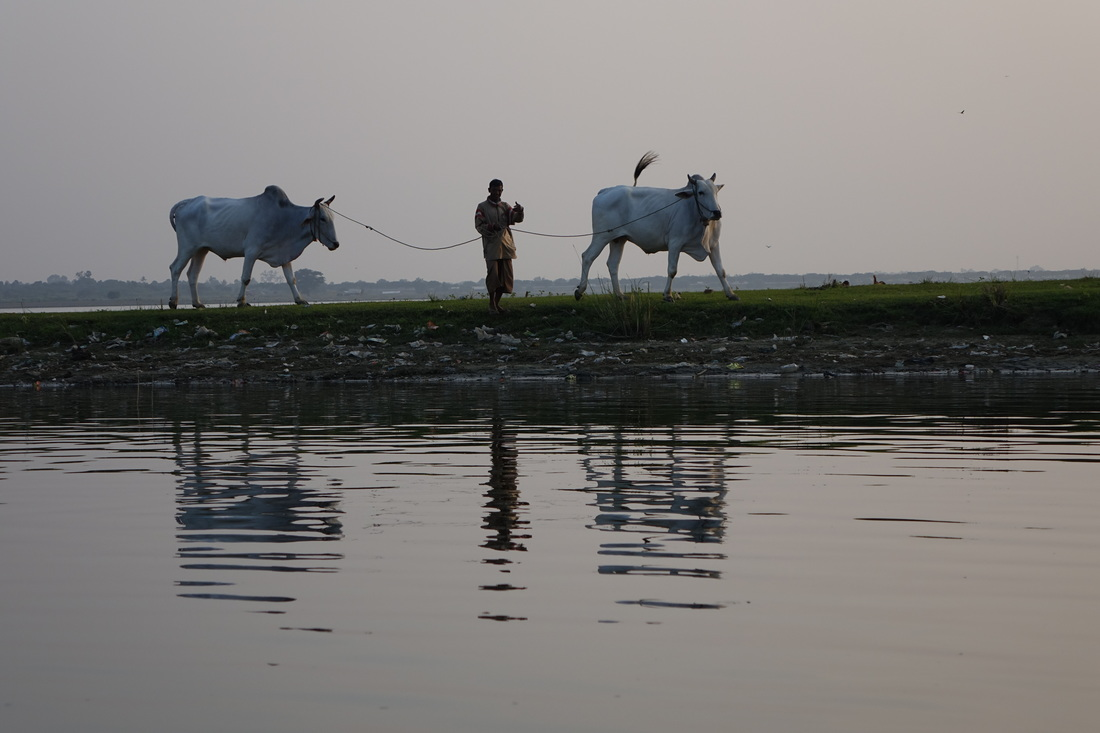 A farmer brings his powerful and graceful white oxen to the water's edge for a dip and watering at the end of another day of labor in Amarapura in Burma