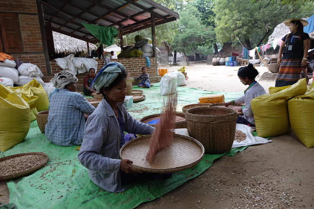 Women use flat baskets to toss peanuts to remove dust and husks in the village of Shwe Pyi Thar in Burma