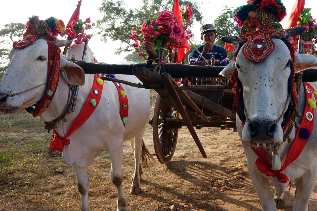 Oxcart oxen in ceremonial dress with oxcart driver in Bagan, Burma