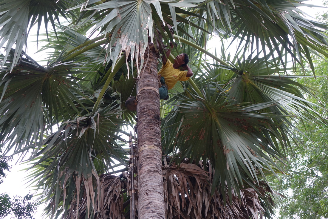 A farmer climbs a toddy palm tree to swap a pot that catches the sap that drips from a slit cut into the tree. The pot tender climbs twice a day to the top of as many as 30 trees to grab the bounty that is the key ingredient in the sweet treats are a traditional favorite found in most homes in Burma.