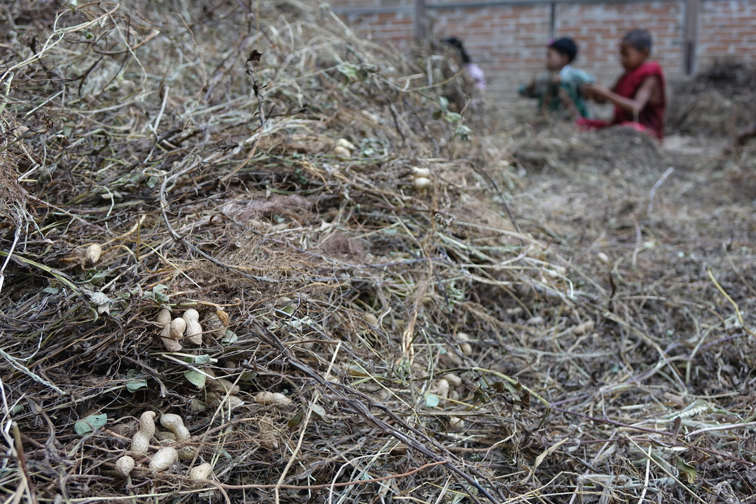 Youngsters in the village of Shwe Pyi Thar in Burma gather peanuts from vines. The village is a major producer of peanut products and candies made from toddy palm oil