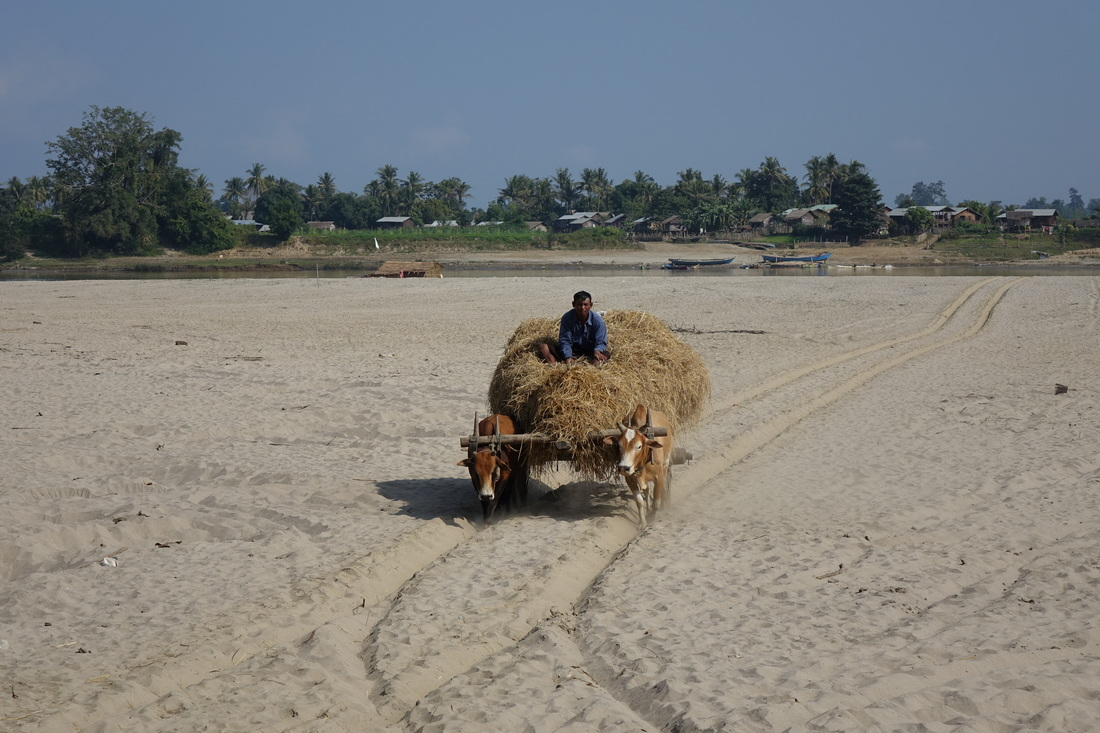 A farmer drives oxen hauling hay across a sandy beach on the island of Kyundaw in the Irrawaddy River in Burma