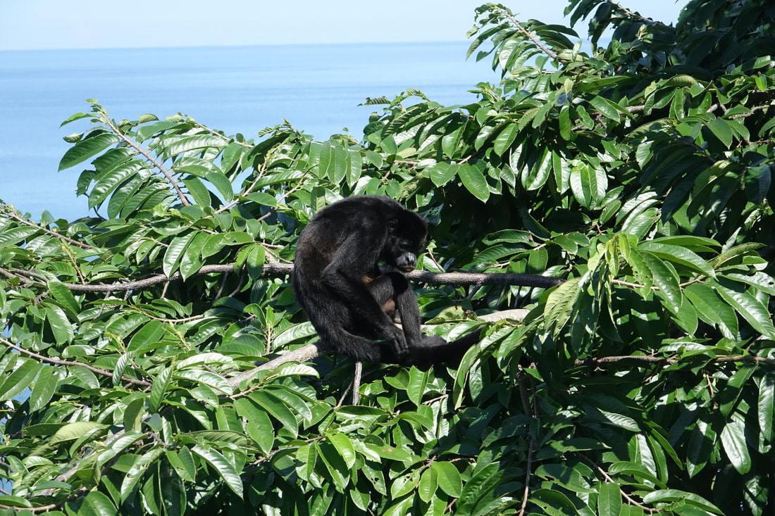 Howler monkey at Fort San Lorenzo in Panama