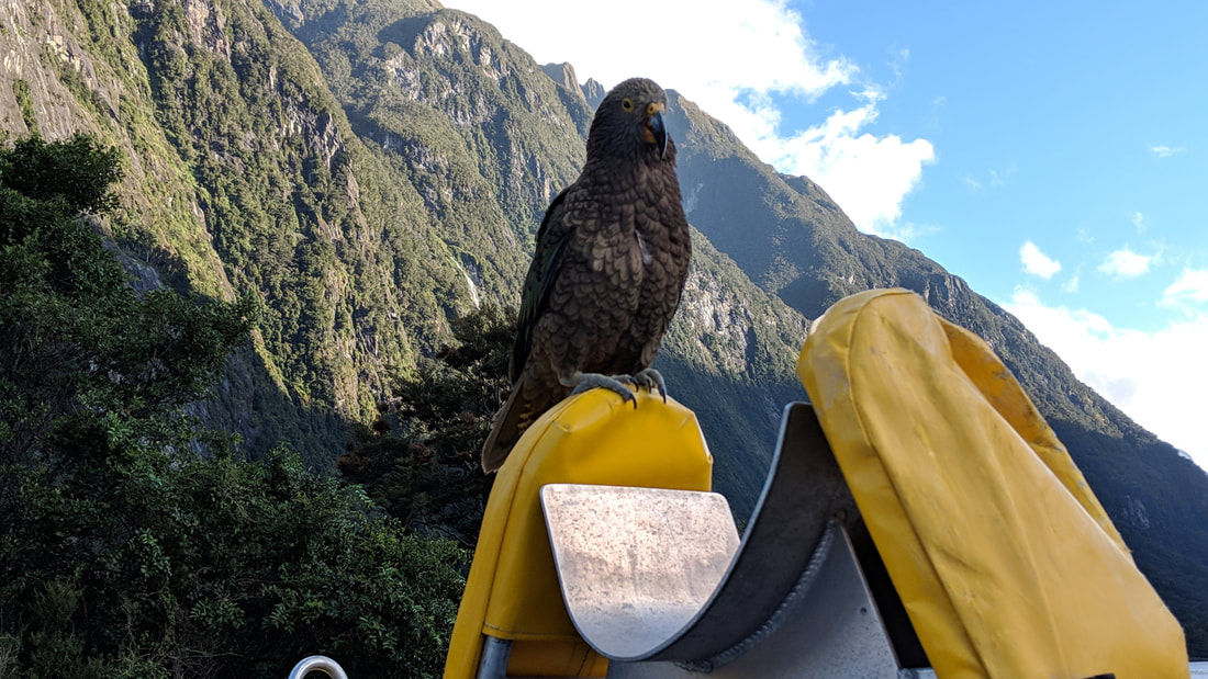 Kea, alpine parrot in Milford Sound, New Zealand