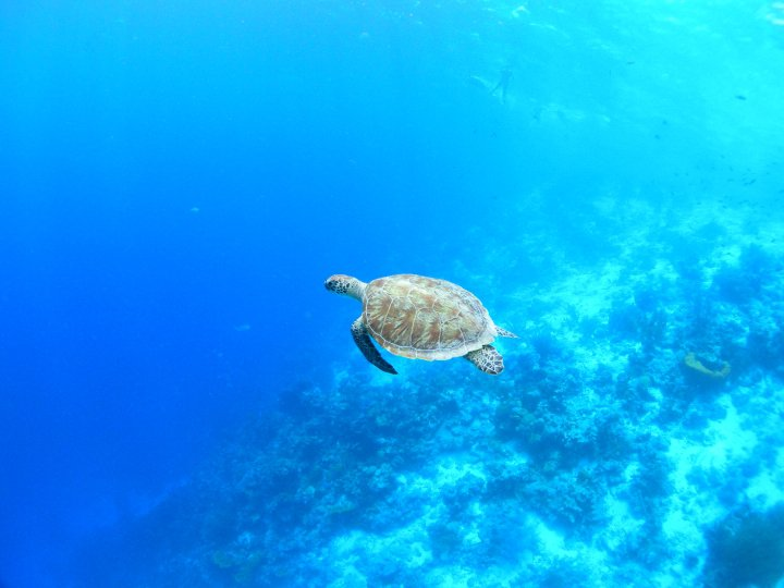 Sea turtle at Klein Bonaire