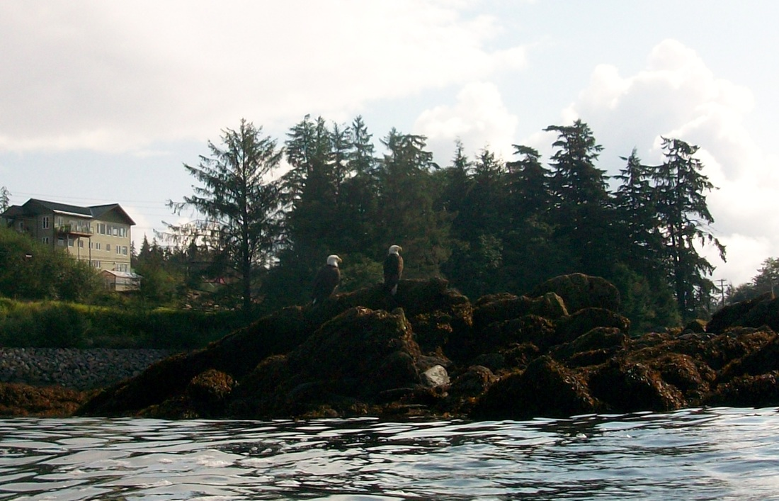 Snorkeling in Alaska in Ketchikan, we spot two bald eagles, common Alaska animals.