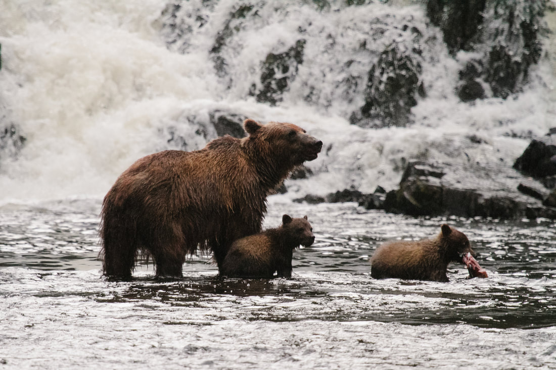 UnCruise Adventures in Alaska, brown bears