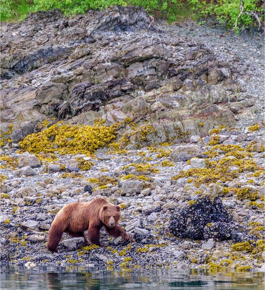 UnCruise Adventures in Alaska, bear