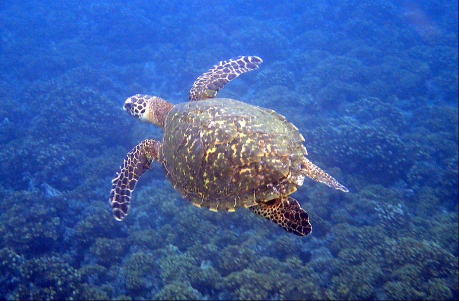 Sea turtle in Costa Rica